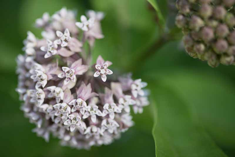 Milkweed Chautauqua Flowers for Mom July 5